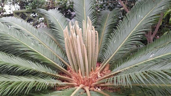«Фееричный фонтан листьев»: в Ботаническом саду распустилась столетняя «пальма»