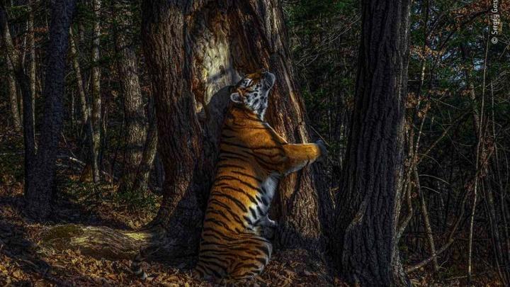 Фотограф из Новосибирска завоевал Гран-при в престижном конкурсе — он сделал снимок тигра, обнимающего дерево