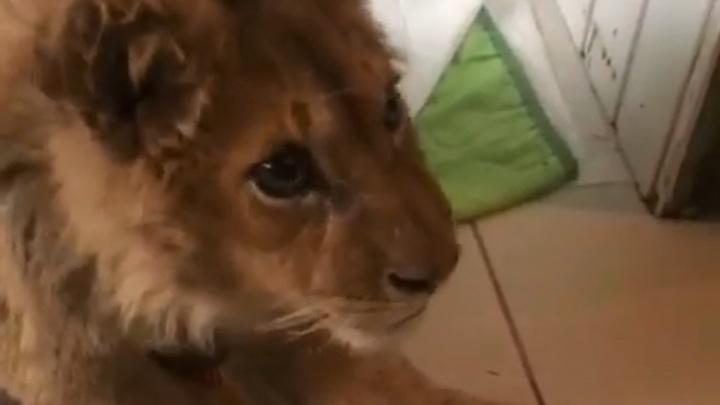 «Выполз из комнаты на животе»: Карен Даллакян учит ходить львёнка, ставшего жертвой фотоживодёров