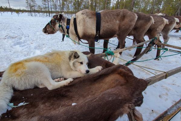 Одно из колоритных мест, куда привезли столичных фотографов, — оленье стойбище в Пинежском районе