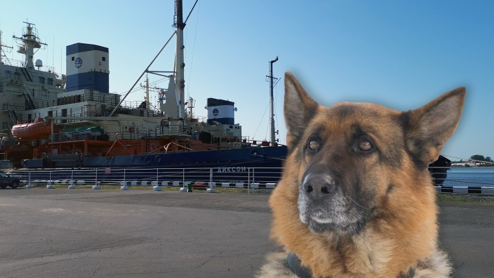 «Не знала, куда плыть»: в Архангельске члены экипажа ледокола «Диксон» спасли собаку