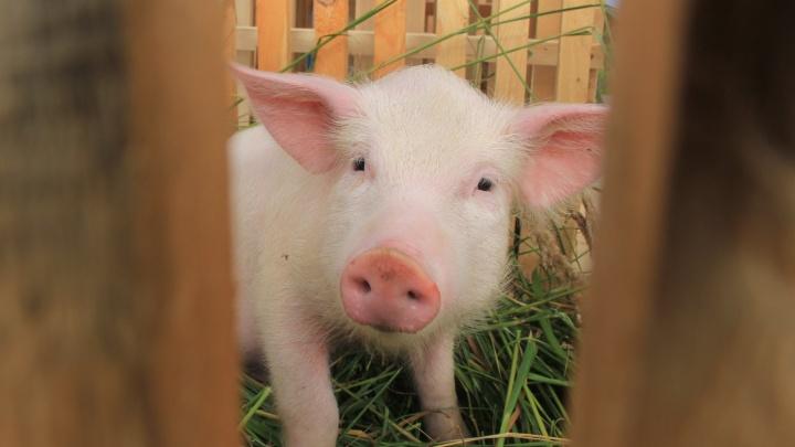В Вельске от африканской чумы свиней умерло пять животных