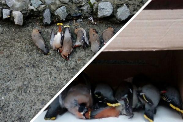 Те самые птички, которых нашел тюменец. Он перенес всех в безопасное место, спрятав в коробку от собак и кошек