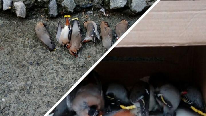 В Тюмени заметили «пьяных» свиристелей, которые лежали на земле без движения