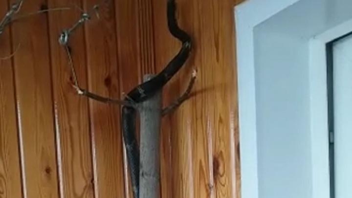 В Екатеринбурге из квартиры на 12-м этаже сбежала двухметровая змея по кличке Игорь