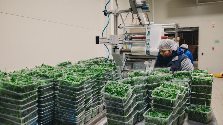 Покупаем тюменское: репортаж с производства, где сохраняют каждый витамин в овощах и зелени