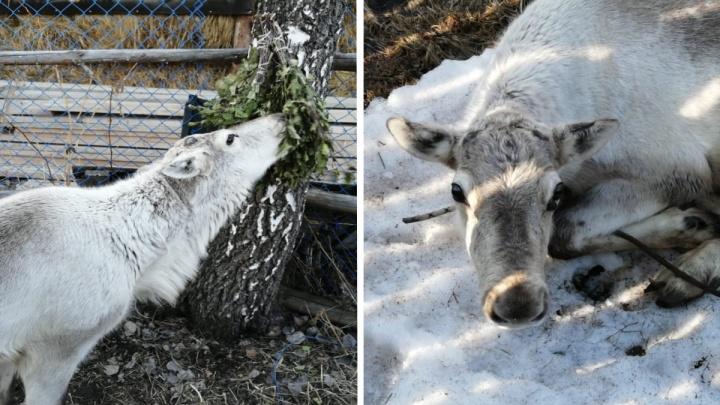 «Уже приспособился. Никакого стресса нет»: как живет олень, которого волонтеры отобрали у горе-хозяев