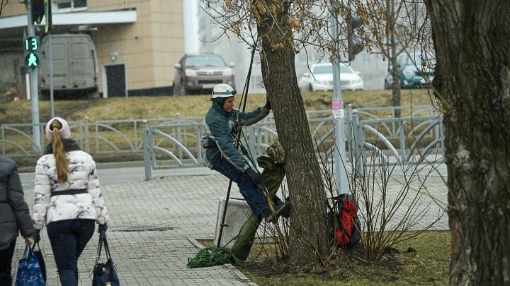 Екатеринбуржец спас ворону, застрявшую на дереве, и захотел забрать ее домой. Но что-то пошло не так