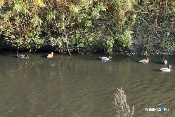 По словам замгубернатора, утки вернулись в Искитимку