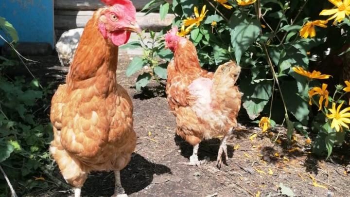 Птичий грипп нашли ещё в одном районе Омской области