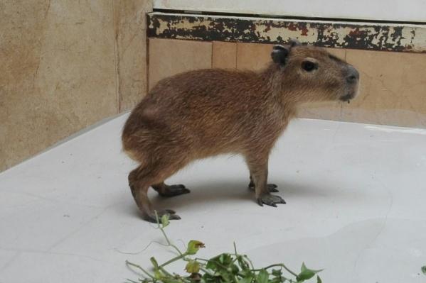 У малыша капибары есть все необходимые удобства: большая ванная, тёплый пол, — но у него по-прежнему нет имени