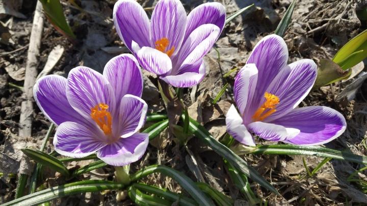 Самые красивые кадры этой весны: как в Новосибирске распускаются листья, цветут шафран и подснежники