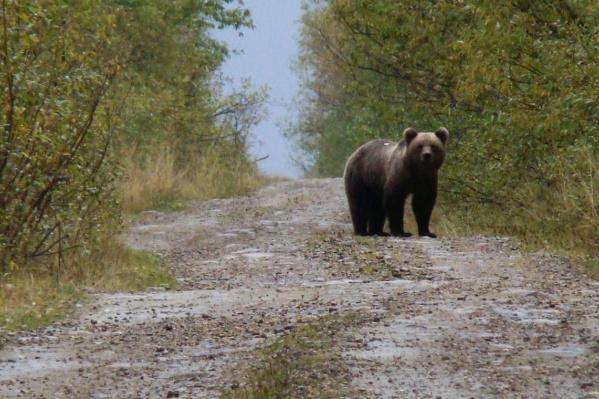 Медведь может напасть на человека по разным причинам. Например, это может произойти, если грибник зашел на территорию, где у косолапого прикопана добыча