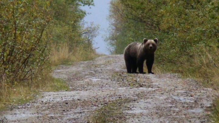 На севере Прикамья на человека напал медведь. Мы узнали, почему это могло произойти