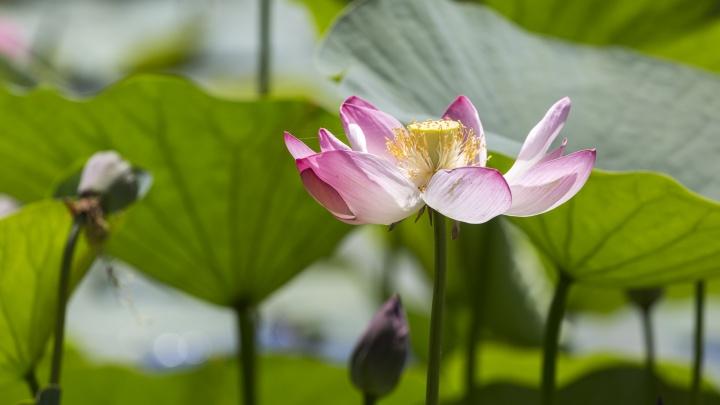 Выйти на берег в розовый рай: Лотосовое озеро под Волгоградом перестанет отпугивать туристов