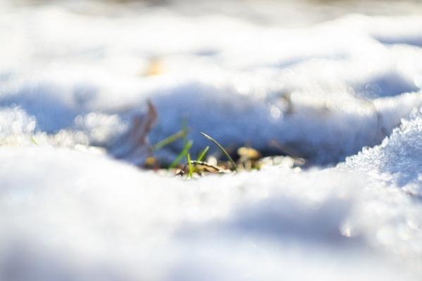 Первая трава пробивается сквозь сугробы