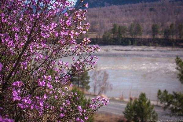 На Алтае распустились цветы рододендрона