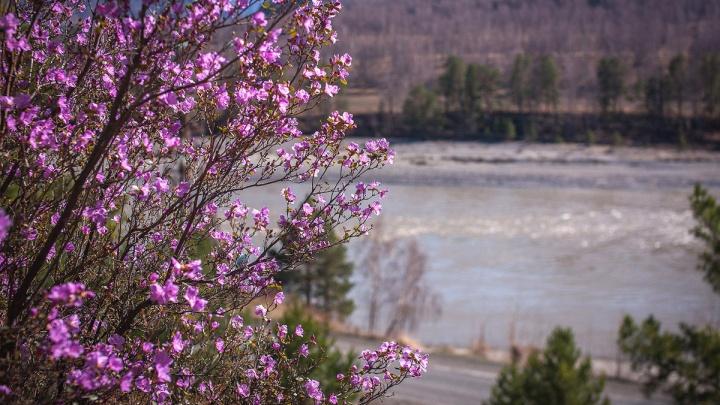 На Алтае зацвёл рододендрон: 9 ярких фото (вживую вы его этой весной вряд ли увидите)