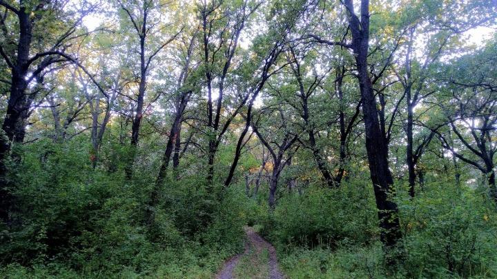 «На деревьях сделали зарубки»: волгоградцы пытаются защитить от вырубки уникальные дубравы Заволжья