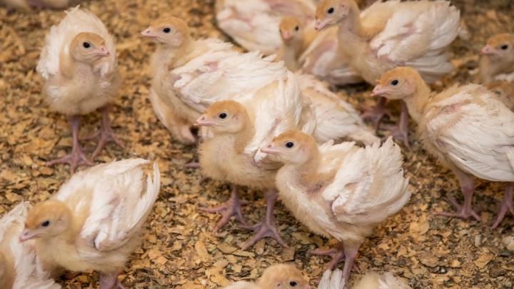 Производство утки в Ростовской области планируют возобновить в 2020 году