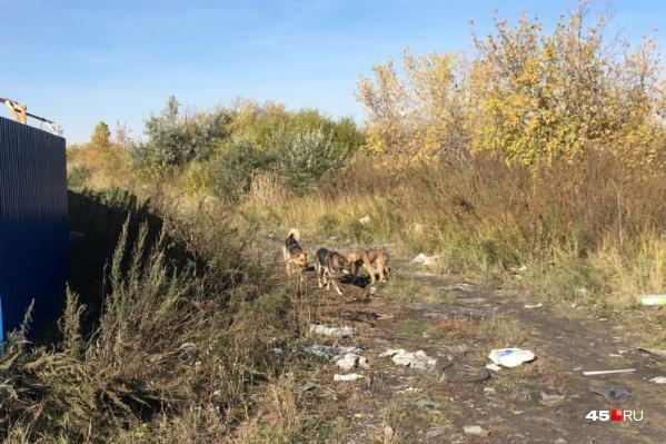 В Зауралье не хватает организаций, которые будут заниматься отловом диких собак, считает глава Далматово