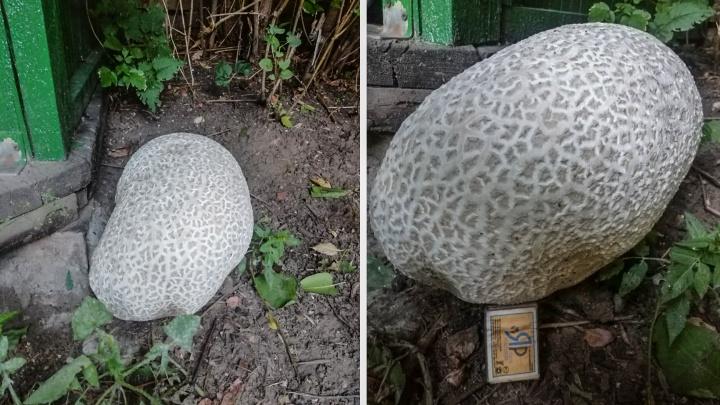 Вымахал за выходные: в самарском дворе нашли гигантский гриб