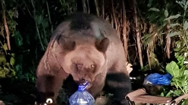 «Вот наглец, всю рыбу съел»: в Тюменской области из леса к людям вышел бурый медведь