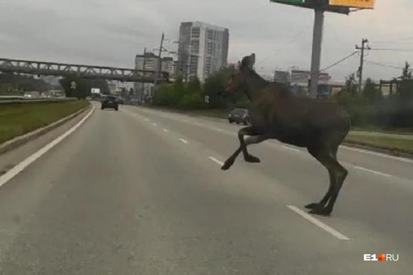 Лось решительно перебегал через дорогу, но это было плохое решение