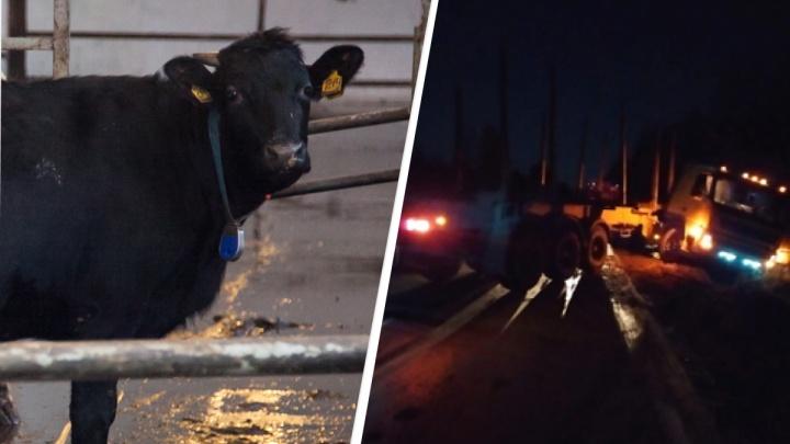 Фура улетела в кювет из-за выбежавших ночью на трассу коров недалеко от поселка Вычегодского