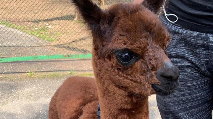 В Пермском зоопарке от новорожденной альпаки отказалась мама