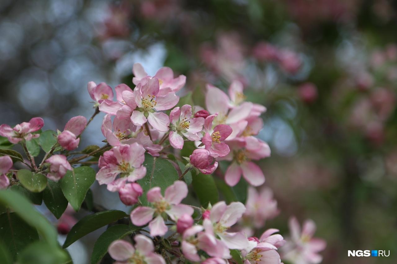Большой популярностью пользуется дерево с розовыми цветами на Морском проспекте