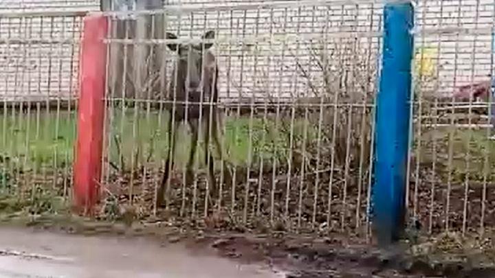 «Природа настолько очистилась»: в ярославский детский сад забежал лосёнок. Видео