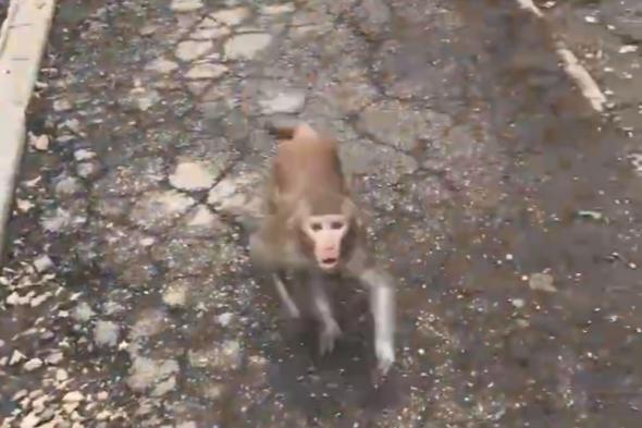 В Самарской области сбежавшая обезьяна укусила девочку