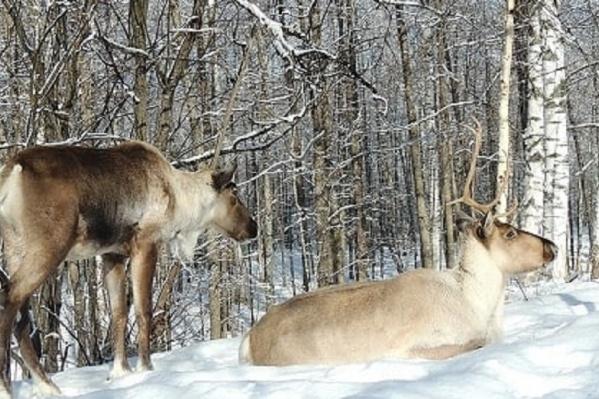 Как зимовали северные олени в Керженском заповеднике