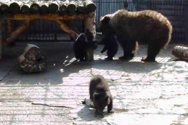 Медвежата активно играют друг с другом