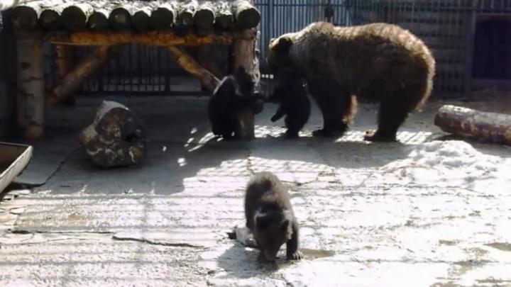 Омичам предложили придумать имена для медвежат Большереченского зоопарка