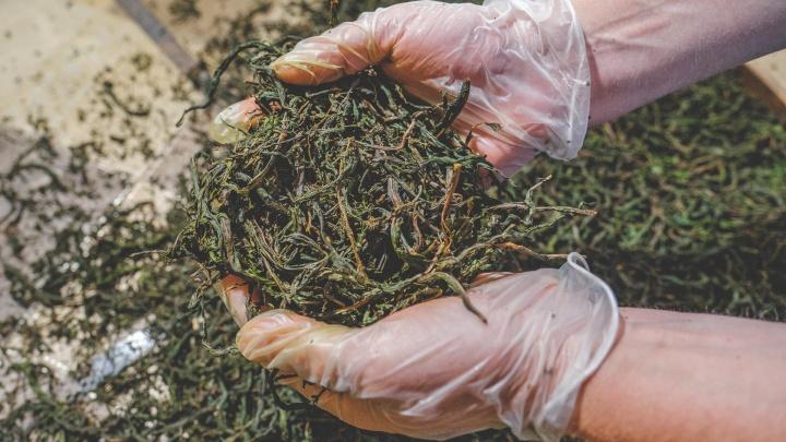 Всей семьей: как в Прикамье производят иван-чай, который продают на Ozon и Wildberries