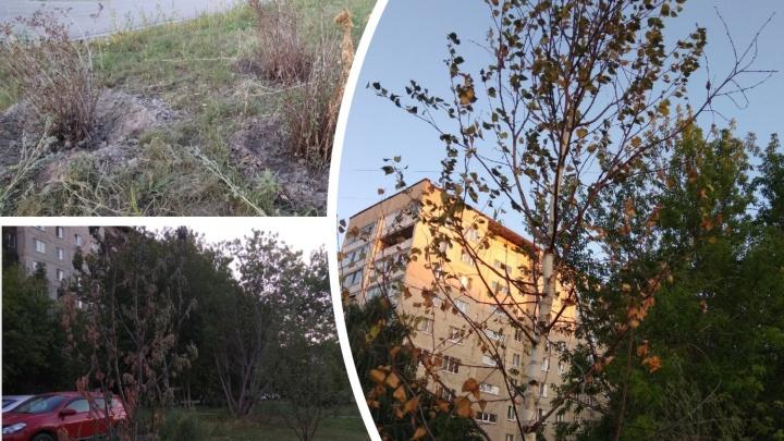 В Тюмени от жары гибнут деревья. Горожане своими силами пытаются их спасти