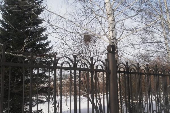 Сороки — самые первые птицы, которые начинают обустраивать гнёзда весной. Они каждый год строят новое гнездо