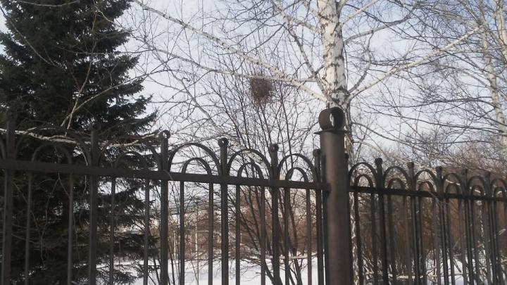 Весна пришла рано: в Новосибирске первые птицы стали вить гнёзда — они нашли глину и мокрую землю
