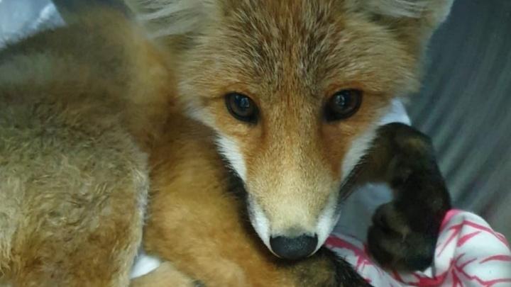 В Екатеринбурге спасают лисенка со сломанным позвоночником