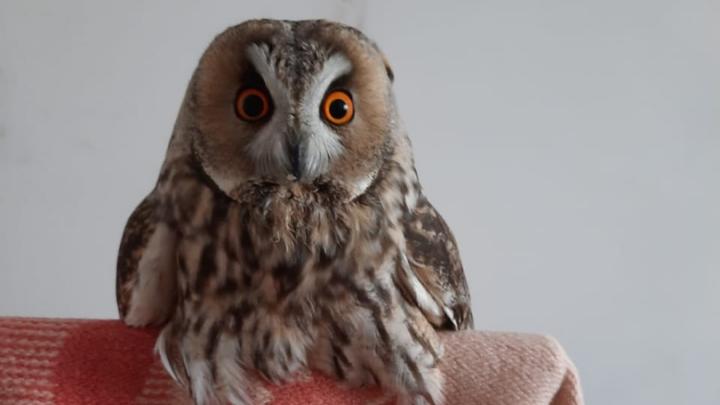 «Страшно шипел и щелкал клювом»: волгоградцы спасли ушастую сову со сломанными крыльями
