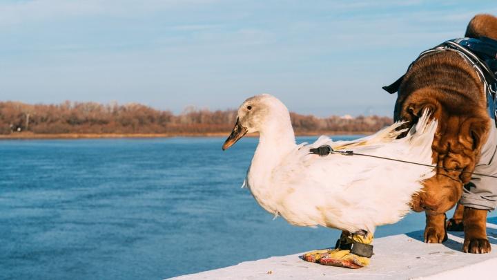 Птица с повадками собаки: гуляем по набережной с уткой, воспитанной шарпеями