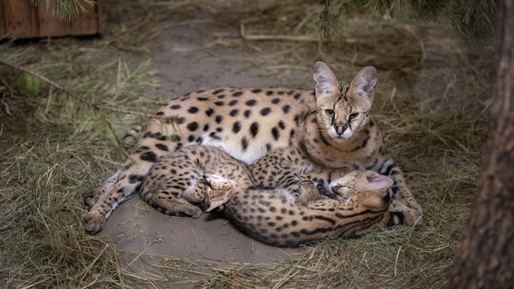 В Новосибирском зоопарке показали малышей сервалов