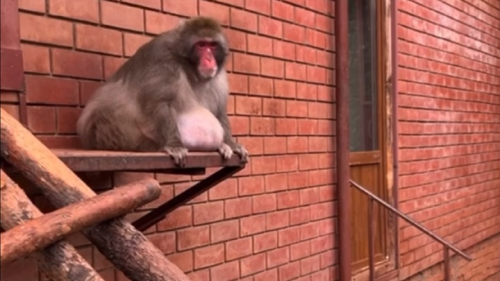 Все мы немного Семён. Пермский зоопарк попросил поддержать макака, сильно поправившегося на самоизоляции
