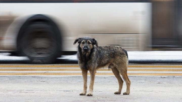 Сколько их — никто не знает: депутатов областной думы обеспокоили бродячие собаки