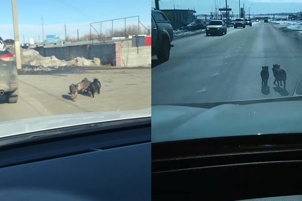Свиньи бегали по проезжей части