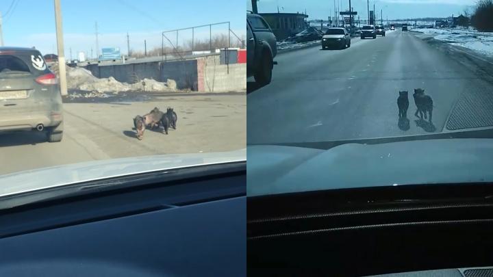 Поросята, парализовавшие движение на дороге в Челябинской области, попали на видео
