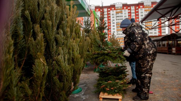 Гуляем по елочным базарам: сколько стоят новогодние деревья в Тюмени и когда лучше делать покупку