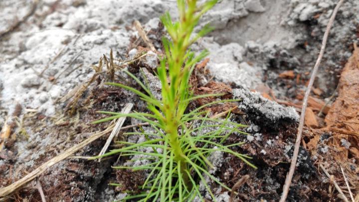 Сохранить лес: холдинг «Титан» посадит в Поморье более 700 тысяч молодых деревьев хвойных пород